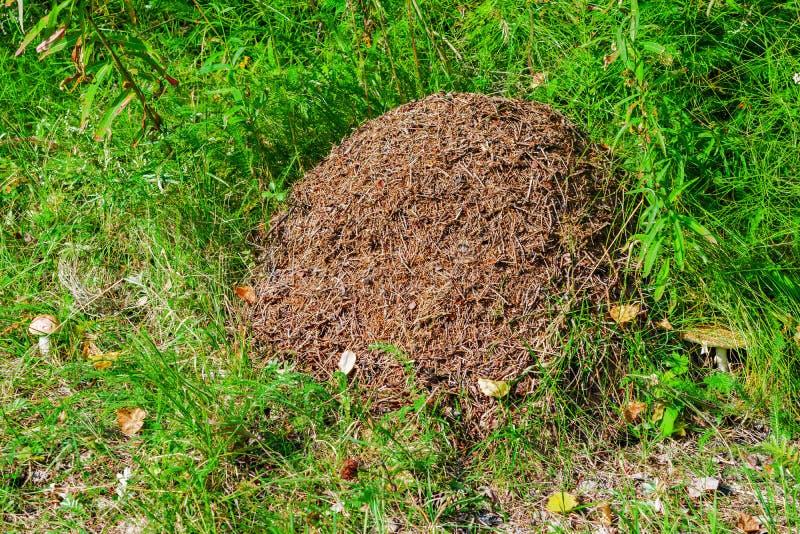 Grande formigueiro na floresta em um esclarecimento da grama verde, fotos de stock royalty free