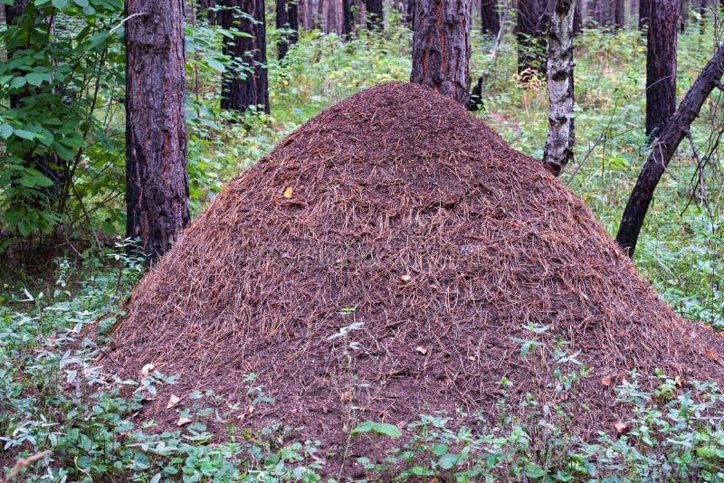 Grande formigueiro na floresta em um fundo da grama verde em um dia de verão fotografia de stock