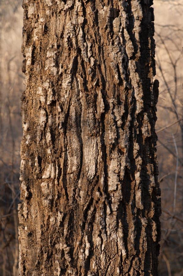 Grande forte tronco della quercia fotografie stock