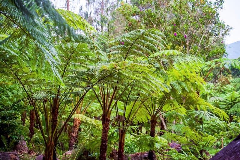 Grande fougère d'arbre sur la forêt tropicale à la cascade de Siriphum au parc national de Doi Inthanon, Chiang Mai, Thaïlande image stock