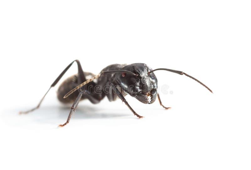 Grande fourmi au-dessus de blanc image libre de droits