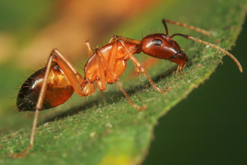 Grande fourmi rouge photographie stock