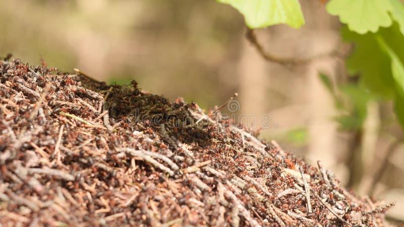Grande fourmili?re avec la colonie des fourmis rouges sous la branche de ch?ne dans la for?t de soleil d'?t? sur le fond dans le  images stock