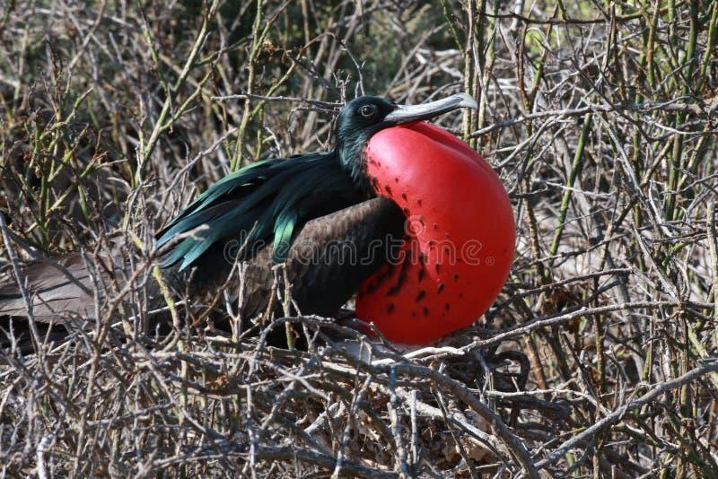 Grande Frigatebird fotografia de stock