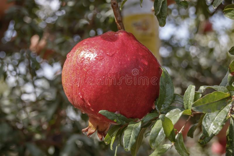 Grande frutta del melograno maturo con i cali di rugiada nel fogliame fotografia stock