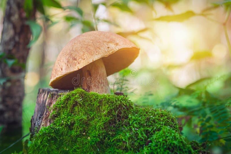 Grande fungo bianco con un cappuccio della bardana immagini stock