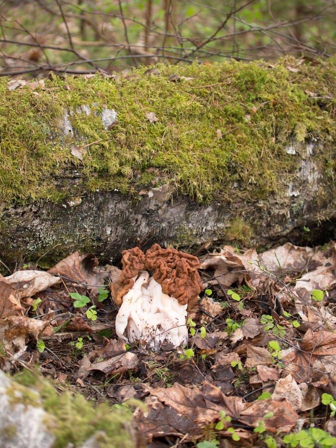 Grande fungo della morchella della molla con un cappello marrone che sta sui precedenti delle foglie secche immagine stock