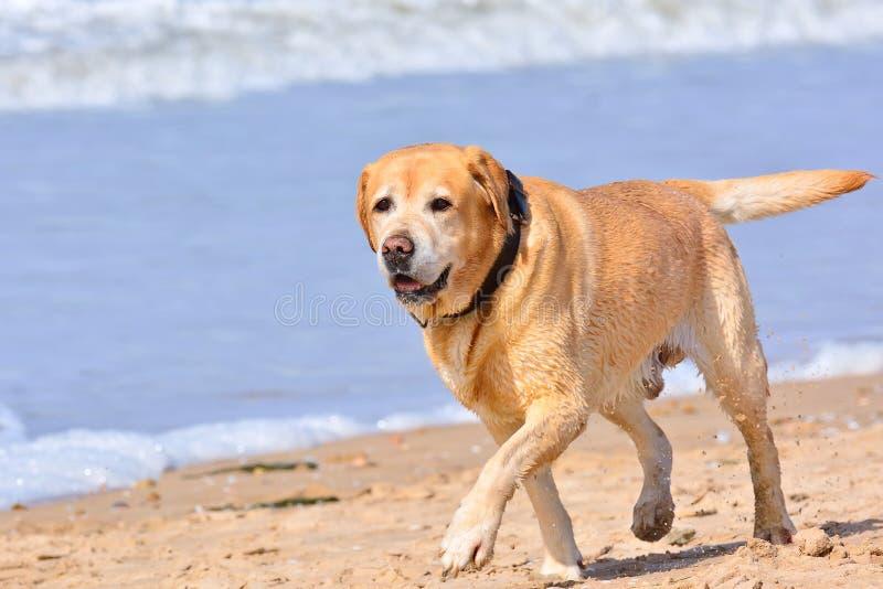 Grande funzionamento marrone di labrador sulla spiaggia fotografie stock