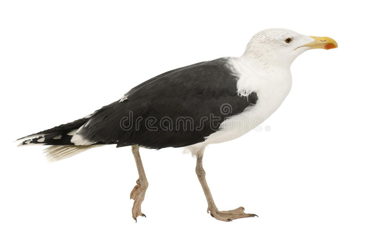 Grande gaivota com o dorso negro, Larus Marinus fotografia de stock