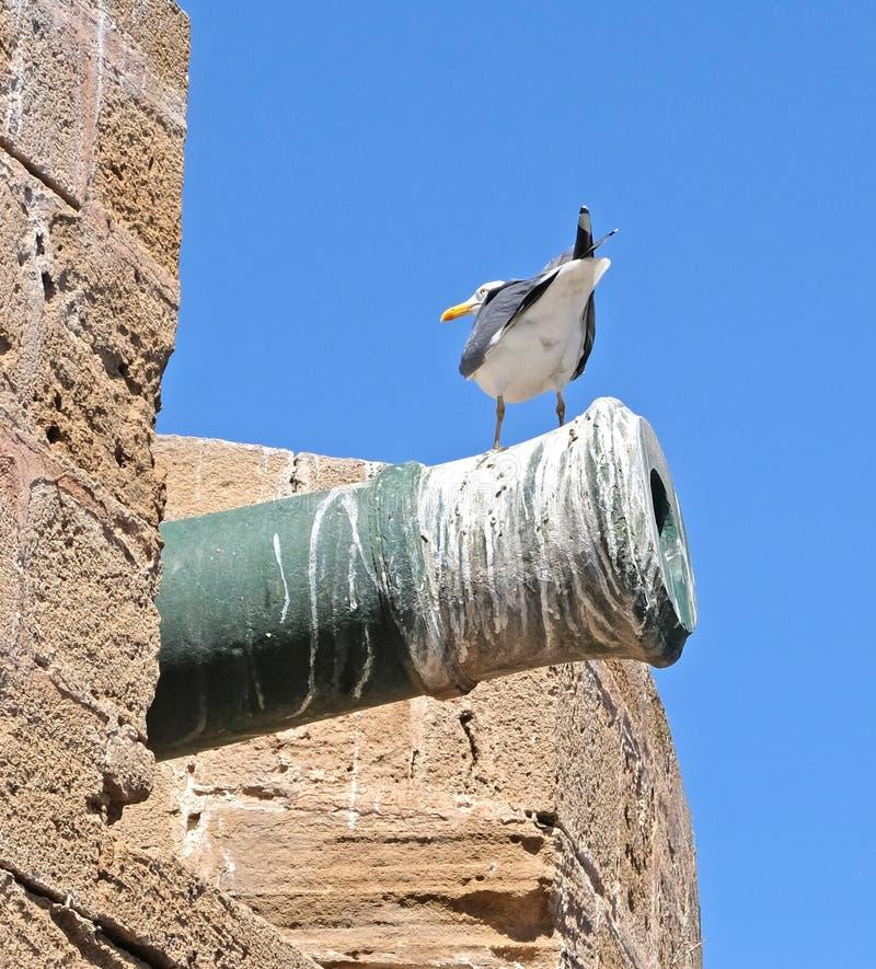 Grande gaivota com o dorso negro, sentando-se no tronco de uma arma velha da fortaleza, coberto com as camadas de excremento do p imagem de stock
