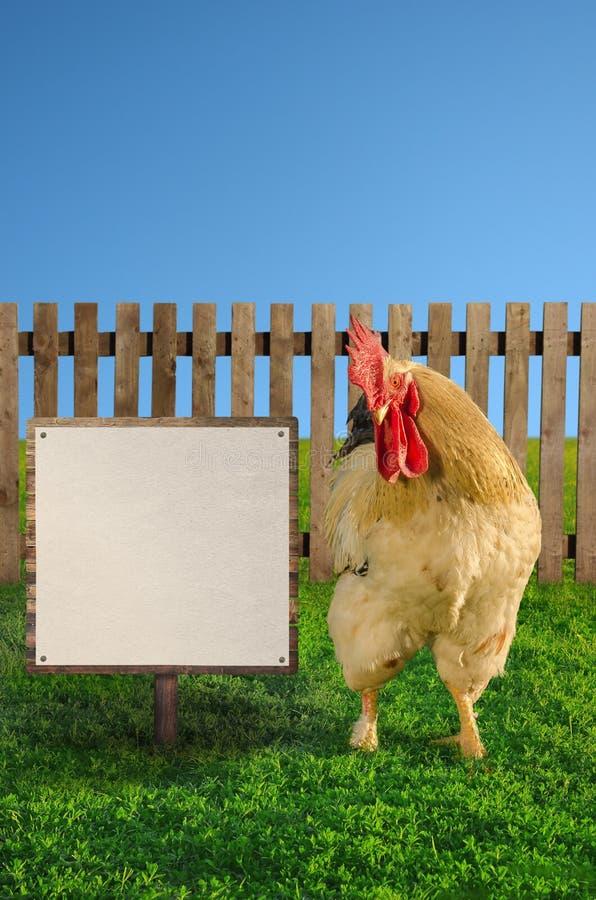 Grande gallo bianco che mostra l'insegna bianca in bianco fotografia stock
