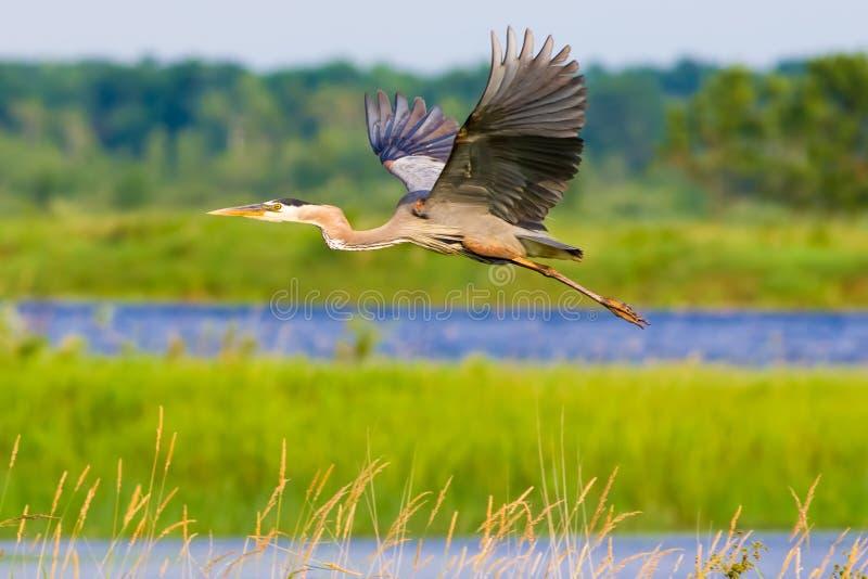 Grande garça-real azul - voando nos lagos e nos pantanais na área dos animais selvagens dos prados do Crex fotografia de stock