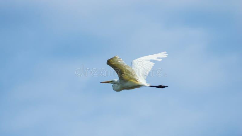 Grande garça-real branca, grande egret ou retrato alba do Ardea em voo contra o céu, foco seletivo, DOF raso imagem de stock