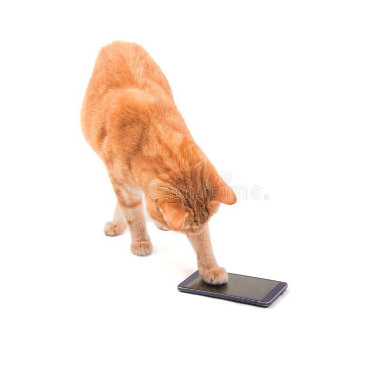 Grande gato de gato malhado do gengibre que joga em um telefone esperto imagens de stock