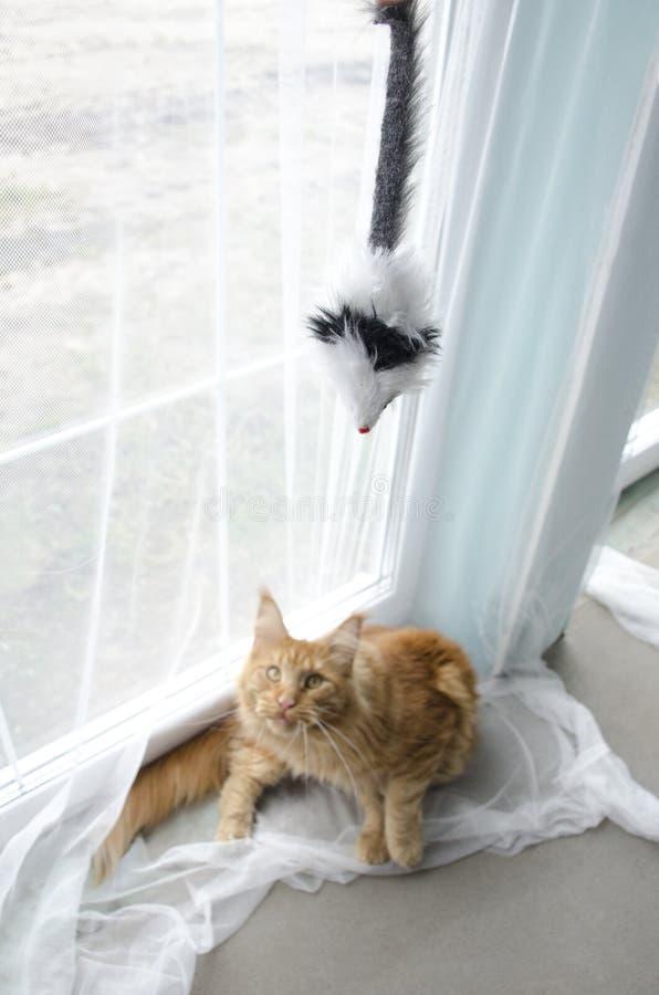 Grande gato de racum de mármore vermelho novo de Maine que joga com um brinquedo imagens de stock royalty free