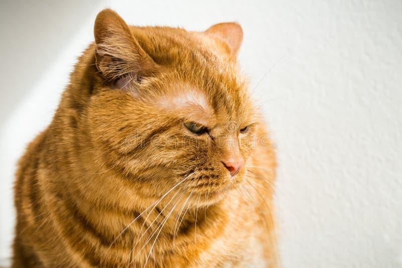 Grande gatto arancio fotografia stock libera da diritti
