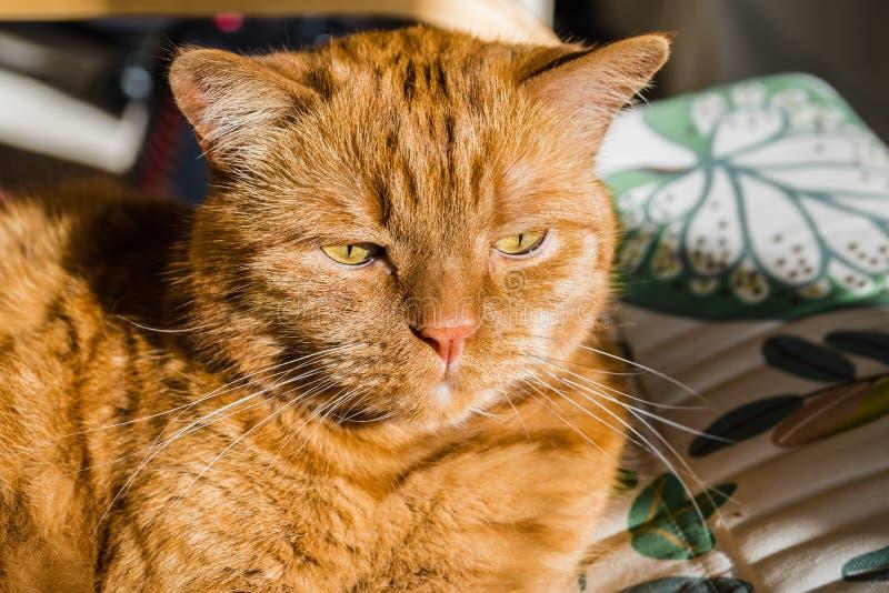 Grande gatto arancio fotografia stock
