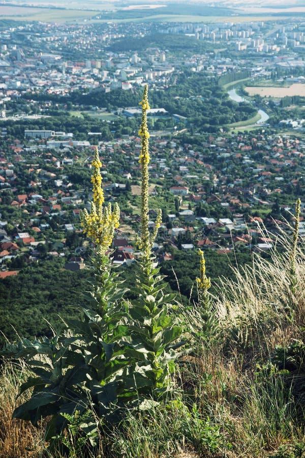 A grande genciana amarela cresce em um monte Zobor acima da cidade de Nitra fotos de stock royalty free