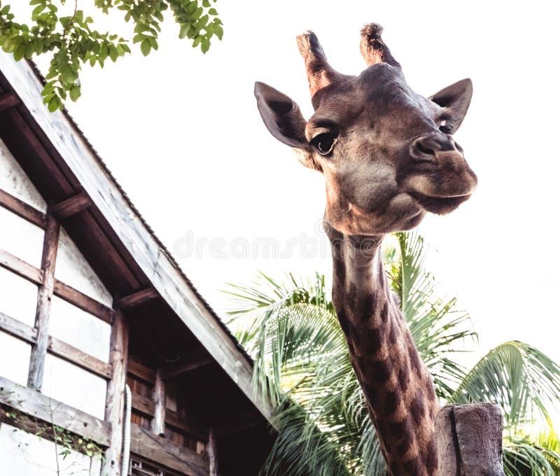 Grande girafe près de la maison en bois images libres de droits