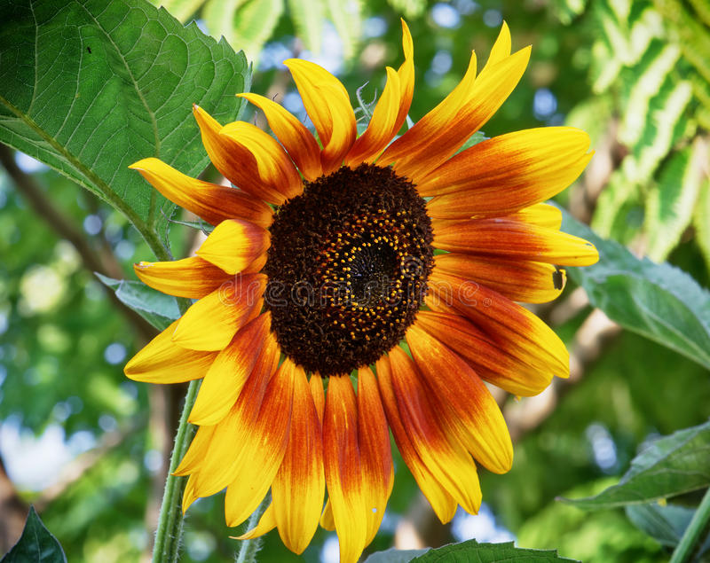 Grande girasole che fiorisce di estate immagini stock libere da diritti