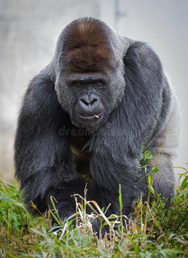 Grande gorila masculino da parte traseira da prata (gorila do gorila do gorila) que come a vegetação imagens de stock