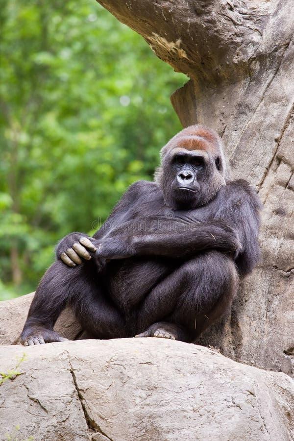 Grande gorilla fotografia stock