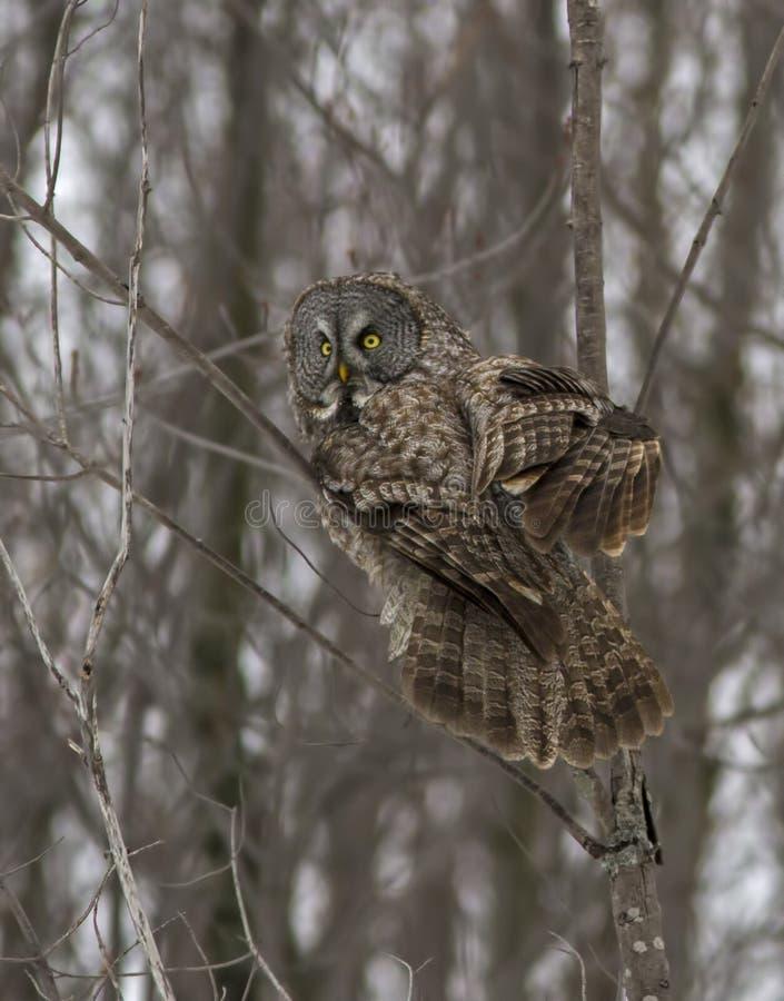 Grande Gray Owl imagens de stock