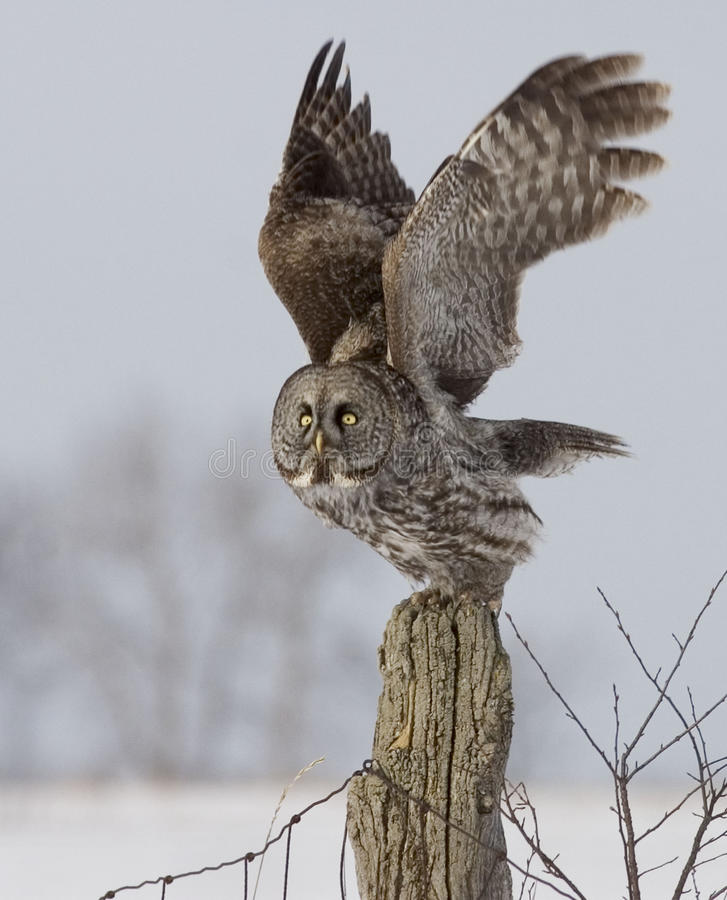 Grande Gray Owl, nebulosa do Strix, liftoff foto de stock royalty free