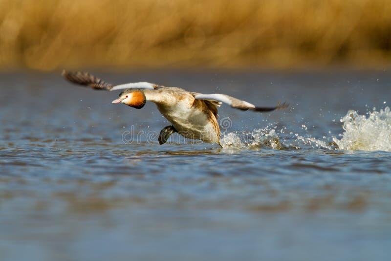 Grande Grebe com crista, waterbird (cristatus do Podiceps imagem de stock