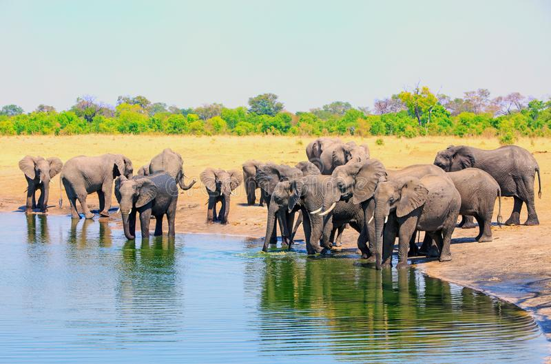Grande gregge degli elefanti africani ad un waterhole che prende una bevanda nel fervore del giorno con un fondo e un cielo blu n fotografia stock libera da diritti
