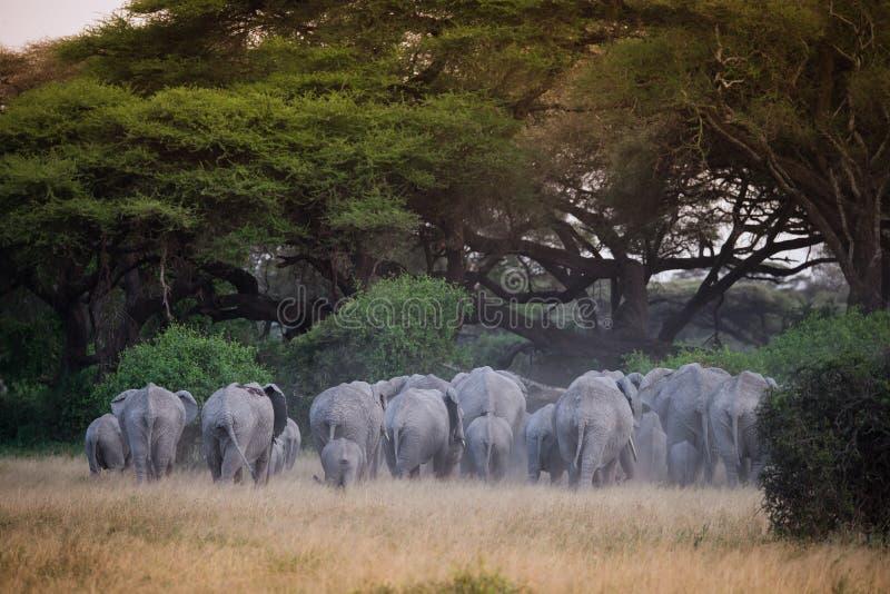 Grande gregge degli elefanti sotto l'albero dell'acacia fotografia stock libera da diritti