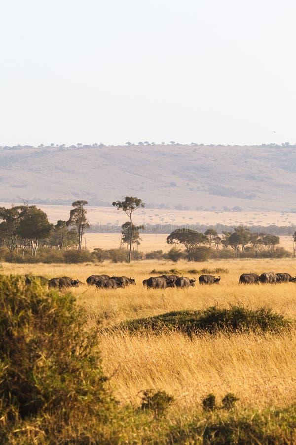 Grande gregge del bufalo africano nella savanna dei masai Mara Il Kenia, Africa immagini stock