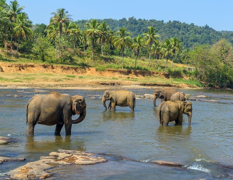 Grande gregge dell'elefante, elefanti asiatici nuotanti gioco e bathin fotografia stock
