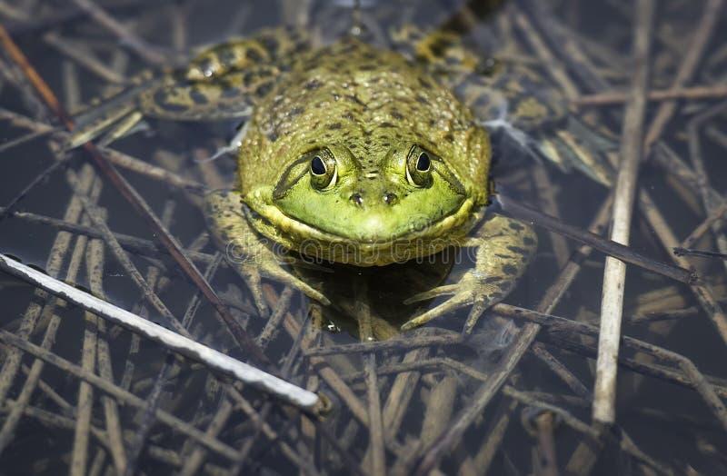 Grande grenouille mugissante adulte dans un étang de refuge photos stock