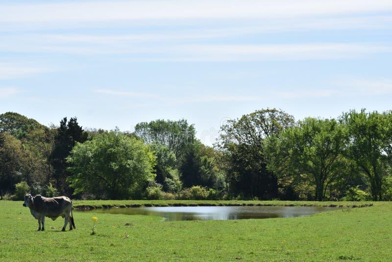Grande Grey Cow Standing ao lado de uma lagoa foto de stock