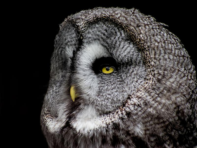 Grande Grey Owl maestoso immagine stock