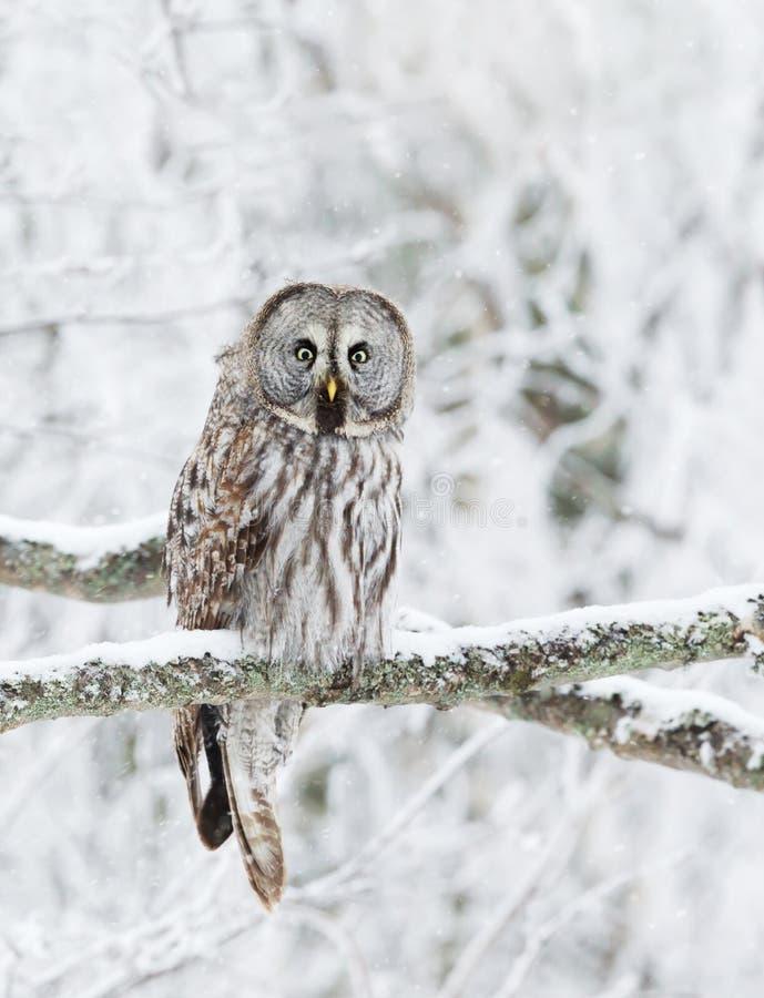Grande Grey Owl si è appollaiato in un albero nell'inverno fotografia stock