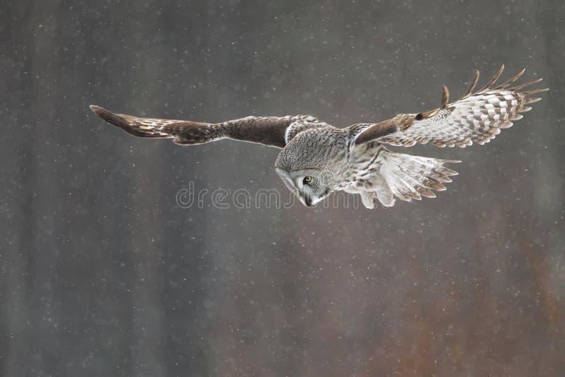 Grande Grey Owl in volo nella neve di caduta fotografia stock