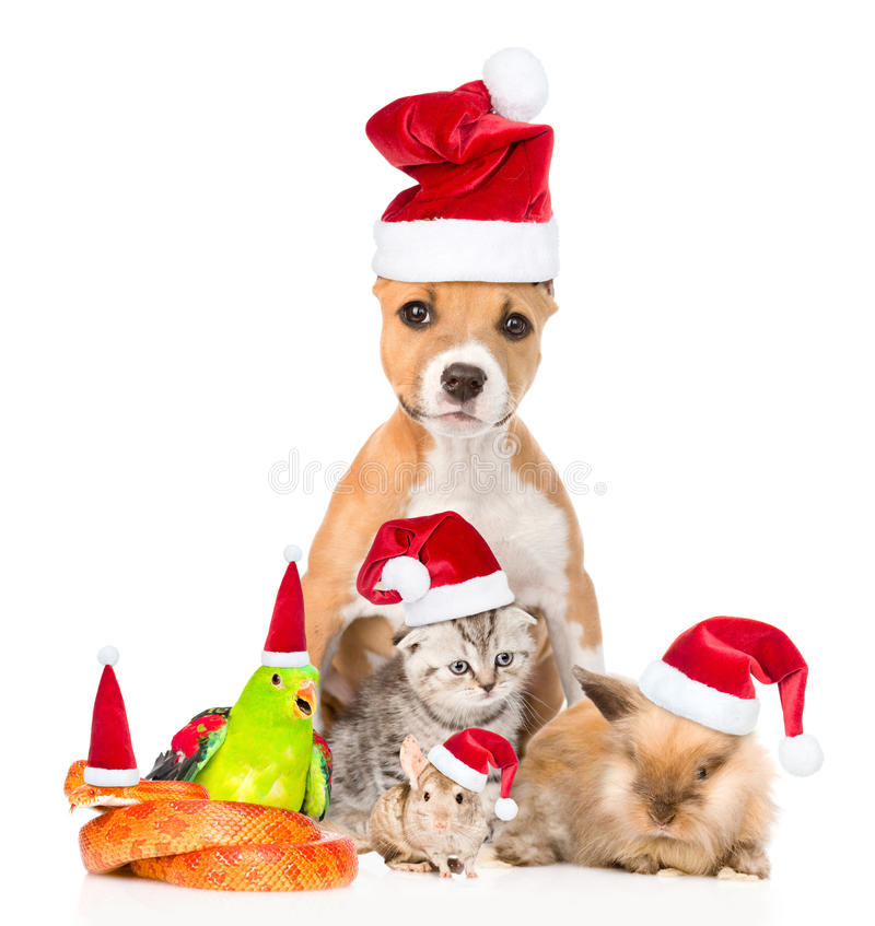 Grande grupo de animais de estimação em chapéus vermelhos do Natal No CCB branco fotografia de stock royalty free