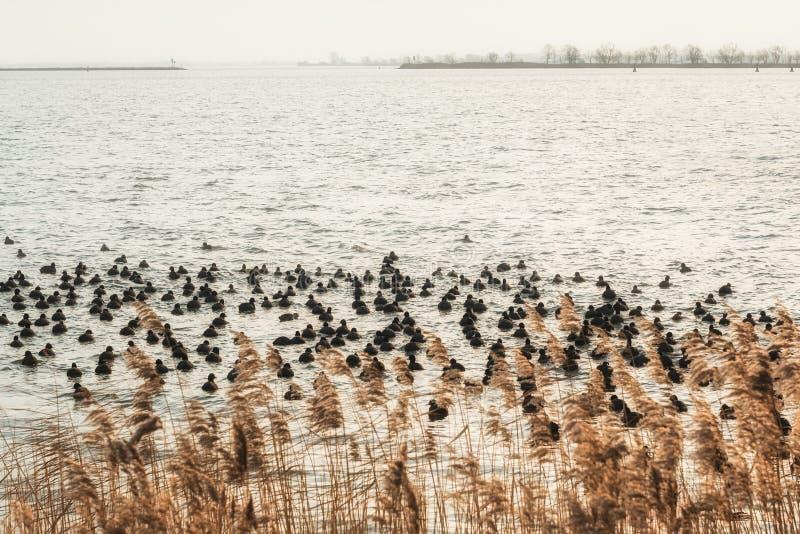 Grande grupo de galeirões no lago Buiten IJ nos Países Baixos foto de stock