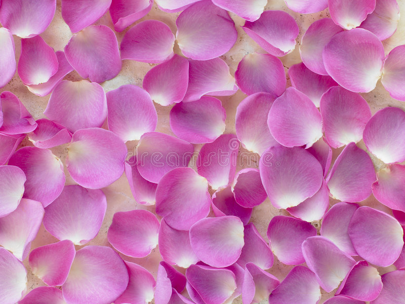 Grande grupo de pétalas de Rosa cor-de-rosa foto de stock royalty free