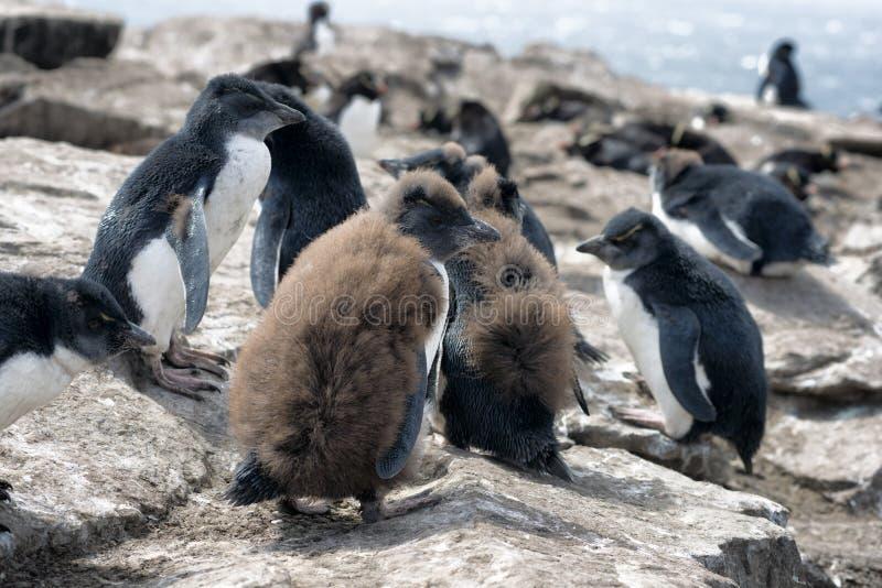 Grande grupo de pintainhos do pinguim de Rockhopper em Falkland Islands foto de stock royalty free