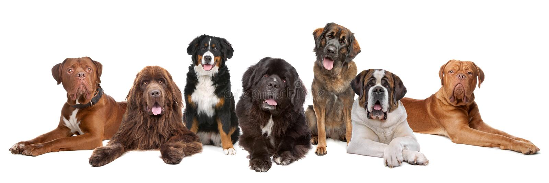 Grande gruppo di grandi cani fotografie stock libere da diritti