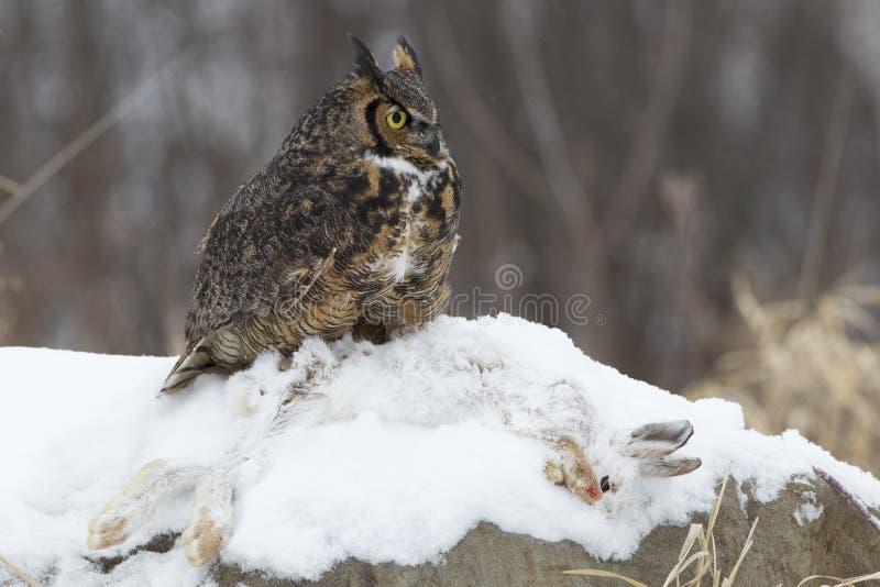 Grande gufo cornuto con la lepre della scarpa della neve immagini stock libere da diritti