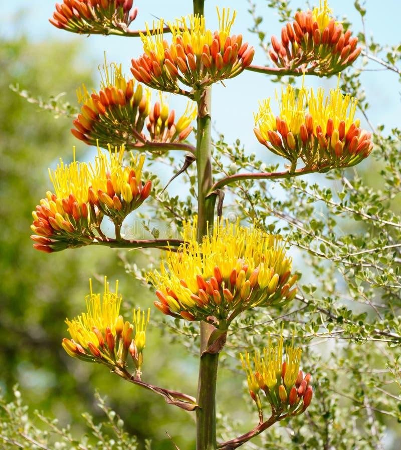 Grande haste de flor da agave imagens de stock royalty free