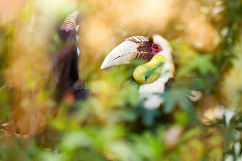 Grande hornbill na floresta tropical