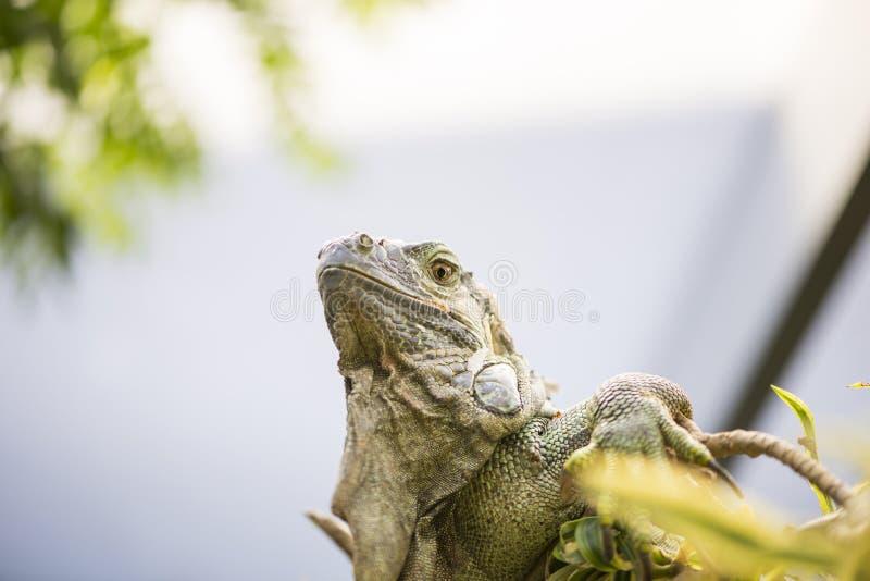 Grande iguana fotografia stock libera da diritti