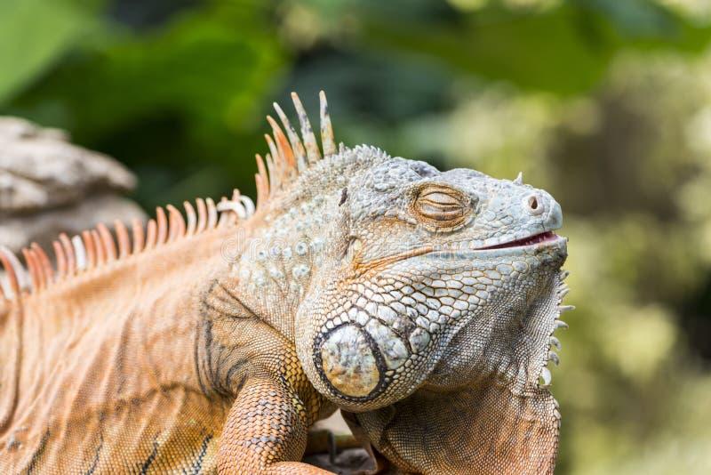 Grande iguana fotografie stock libere da diritti