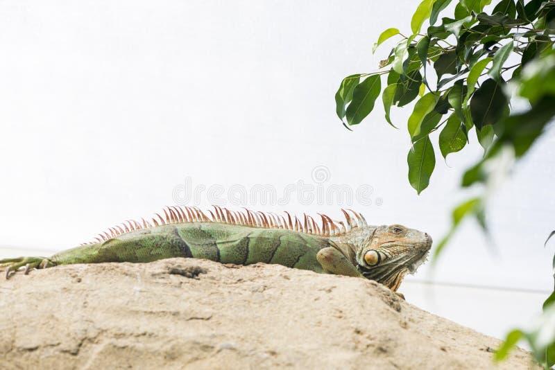 Grande iguana immagini stock