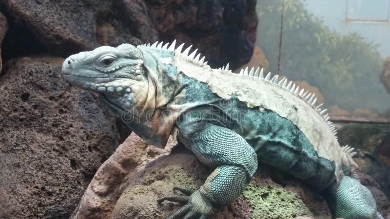 Grande iguana que senta-se em uma rocha fotos de stock royalty free